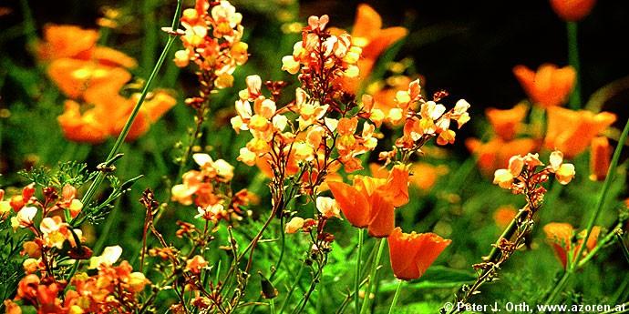 Endemische pflanzen die insel santa maria gehört zur inselgruppe