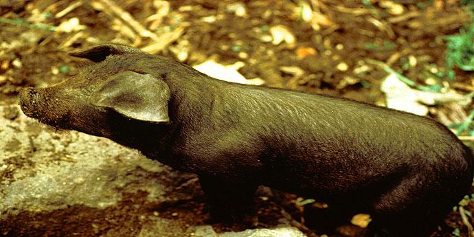 Schweinezucht Azoren