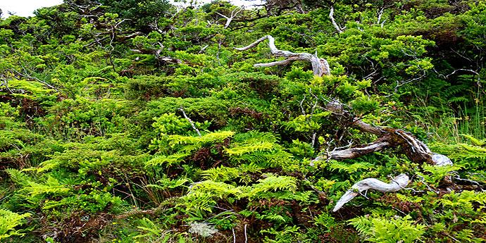 Florestal Pico