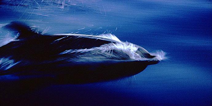 Pico Delfine